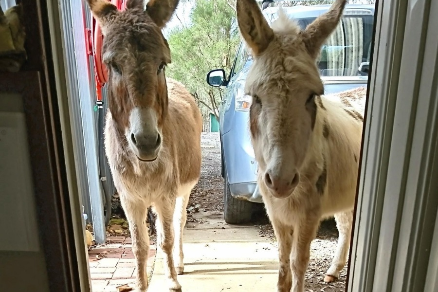 Donkeys Patty (white) and Miffy (grey) are 13 years old. They are 2 inches too tall to be classed as miniature and prefer children to adults
