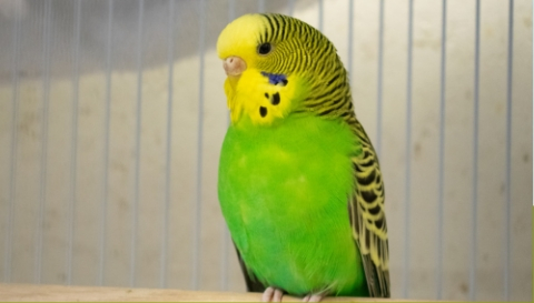 Animal Care - Budgie