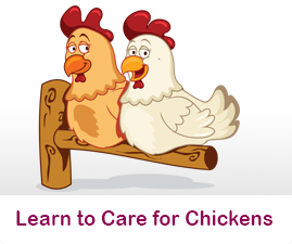 How to care for Chickens